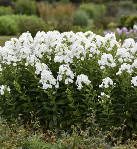 Luminary™ 'Backlight' - Tall Garden Phlox - Phlox paniculata