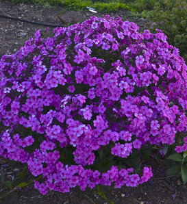 'Cloudburst' - Tall Cushion Phlox - Phlox hybrid