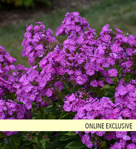 Garden Girls™ Cover Girl - Tall Garden Phlox - Phlox paniculata