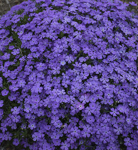 Mountainside™ 'Crater Lake' - Hybrid Spring Phlox - Phlox hybrid