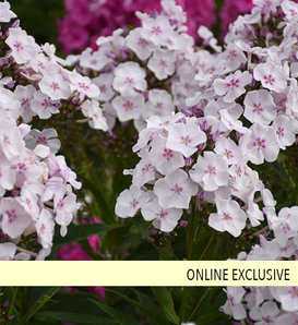 Garden Girls™ Party Girl - Tall Garden Phlox - Phlox paniculata