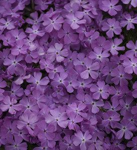Spring Bling™ 'Rose Quartz' - Hybrid Spring Phlox - Phlox hybrid