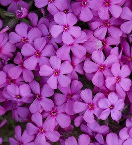 Spring Bling™ 'Ruby Riot' - Hybrid Spring Phlox - Phlox hybrid