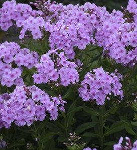 Garden Girls™ Uptown Girl - Tall Garden Phlox - Phlox paniculata