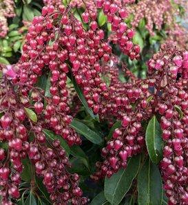 Interstella® - Lily of the Valley shrub - Pieris japonica
