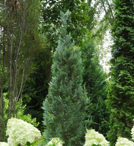 Pinpoint® Blue - False Cypress - Chamaecyparis lawsoniana