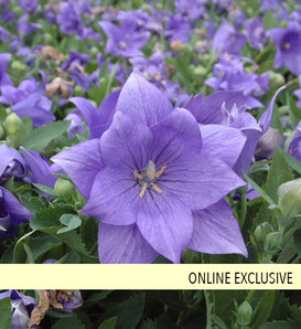 Astra Double Blue - Balloon Flower - Platycodon hybrid