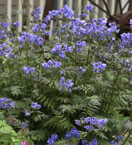 'Heaven Scent' - Jacob's Ladder - Polemonium hybrid