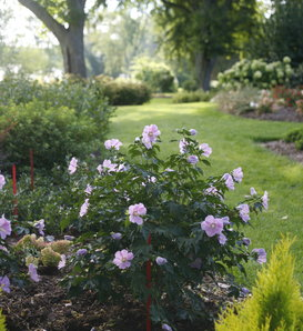 Pollypetite® - Rose of Sharon  - Hibiscus sp.