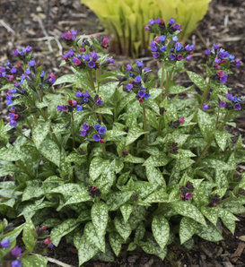 'Spot On' - Lungwort - Pulmonaria hybrid
