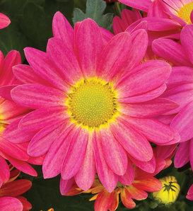 Hilo™ Fuchsia Mum - Pot Mum - Chrysanthemum grandiflorum