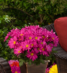 Milton™ Dark Pink Mum - Pot Mum - Chrysanthemum grandiflorum