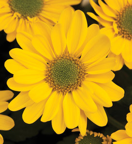 Pueblo™ Yellow Mum - Pot Mum - Chrysanthemum grandiflorum