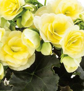 Glory Lemon - Rieger Begonia - Begonia x hiemalis