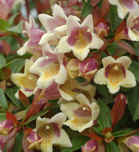 Sunny Anniversary® - Abelia x grandiflora