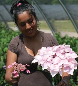 Let's Dance Diva!® - Reblooming Hydrangea - Hydrangea macrophylla