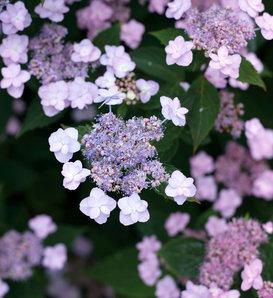 Tiny Tuff Stuff™ - Mountain Hydrangea - Hydrangea serrata