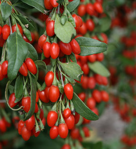 Sweet Lifeberry® - Goji Berry - Lycium barbarum