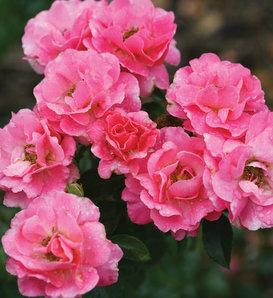 Livin' La Vida® - Landscape Rose - Rosa x