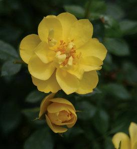 Oso Easy Lemon Zest® - Rose - Rosa x