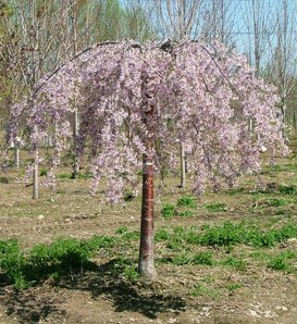 Pink Snow Showers™ - Weeping Cherry - Prunus x
