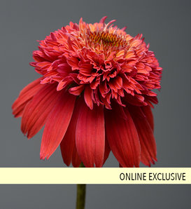 Double Scoop™ Orangeberry - Coneflower - Echinacea hybrid
