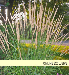 Karl Foerster - Feather Reed Grass - Calamagrostis acutiflora