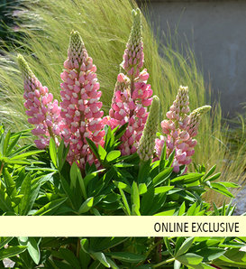 Mini Gallery™ Pink Bicolor - Lupine - Lupinus polyphyllus