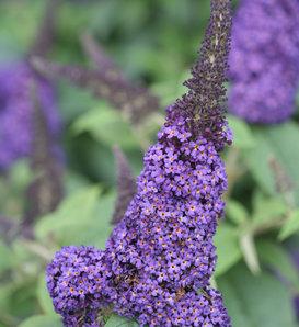 Pugster Blue® - Butterfly Bush - Buddleia x
