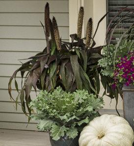 Purple Baron - Millet - Pennisetum glaucum