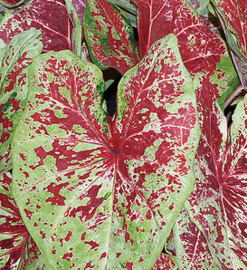 Heart to Heart® 'Raspberry Moon' - Sun or Shade Caladium - Caladium hortulanum