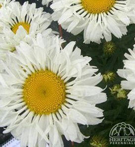 Real Neat - Shasta Daisy - Leucanthemum x superbum