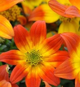 Beedance® Painted Red - Bidens ferulifolia