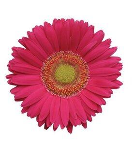 Revolution™ Rose Bright Light Eye - Gerbera Daisy - Gerbera jamesonii