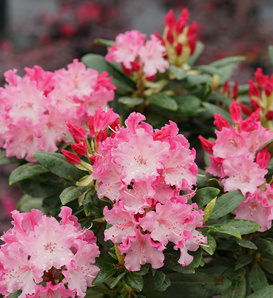 Dandy Man Color Wheel® - Rhododendron x