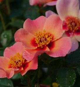 Ringo All-Star™ - Rose - Rosa x