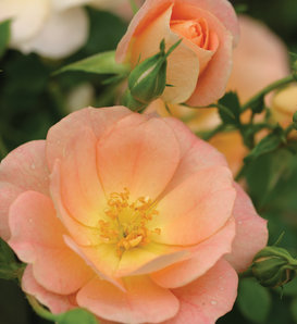 Oso Easy® Peachy Cream - Rose - Rosa x