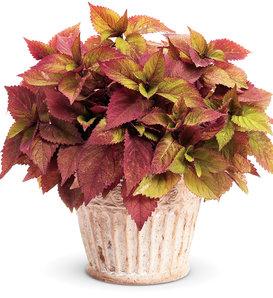 ColorBlaze® Royal Glissade® - Coleus - Solenostemon scutellarioides
