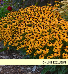 'Little Goldstar' - Black-Eyed Susan - Rudbeckia fulgida
