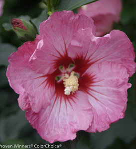 Ruffled Satin® - Rose of Sharon - Hibiscus syriacus