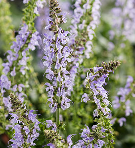 Color Spires® 'Crystal Blue' - Perennial Salvia - Salvia nemorosa