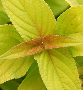 Rockin'® 'Golden Delicious' - Golden Leaved Pineapple Sage - Salvia elegans