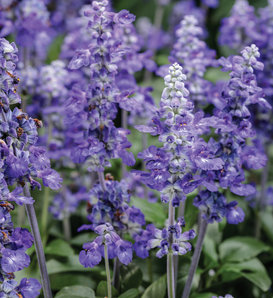Unplugged™ So Blue™ - Mealycup Sage - Salvia farinacea