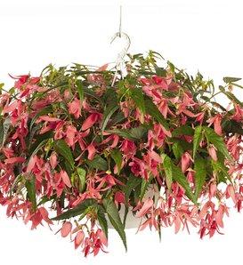 San Francisco™ - Begonia boliviensis
