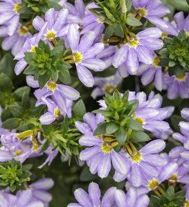 Whirlwind® Starlight™ - Fan Flower - Scaevola aemula