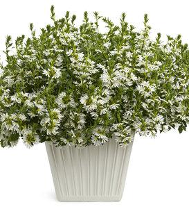 Whirlwind® White - Fan Flower - Scaevola aemula