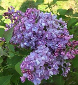 Scentara® Double Blue - Lilac - Syringa x hyacinthiflora