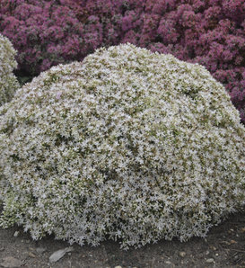 Rock 'N Round™ 'Bundle of Joy' - Stonecrop - Sedum hybrid