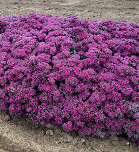 Rock 'N Grow® 'Superstar' - Stonecrop - Sedum hybrid