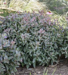 Rock 'N Grow® 'Tiramisu' - Stonecrop - Sedum hybrid
